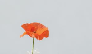 Bright orange poppy